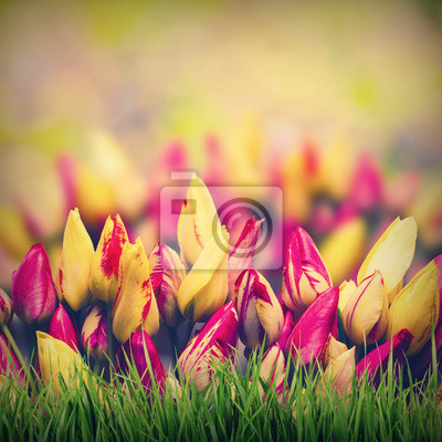 Colorful tulipe spring background