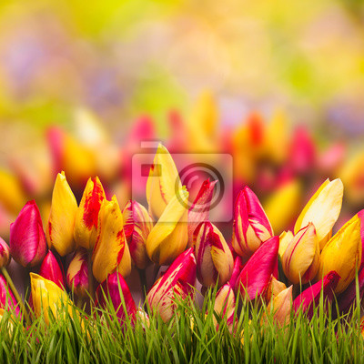 Colorful tulips spring background