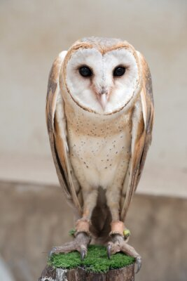 Sticker common barn owl ( Tyto albahead )