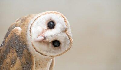 Sticker common barn owl ( Tyto albahead ) close up