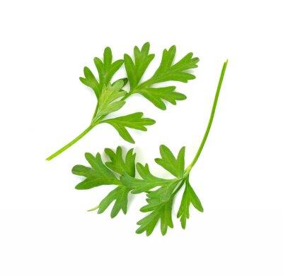 Sticker Coriander leaf isolated on the white background