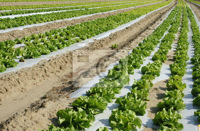 culture of full salads field