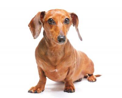 Sticker dachshund