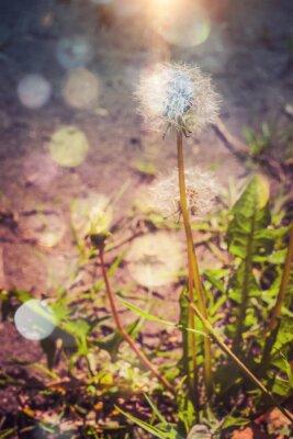 Sticker Dandelion in the Garden Filtered