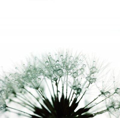 Sticker Dandelion with water drops - silhouette on white - super