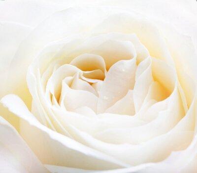 Sticker delicate white rose close up image