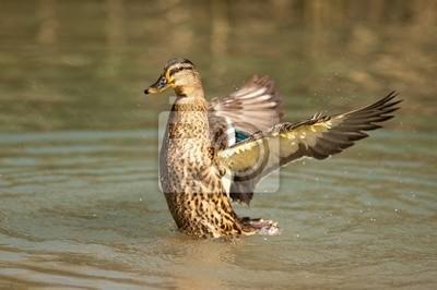 Duck 02
