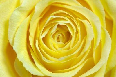 Sticker Einzelne gelbe Rose, formatfüllend