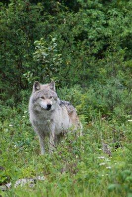 Sticker Female grey wolf in an open meadow near Golden, British Columbia