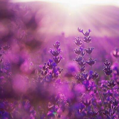 Sticker field lavender flowers