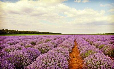Sticker Field of lavender flowers