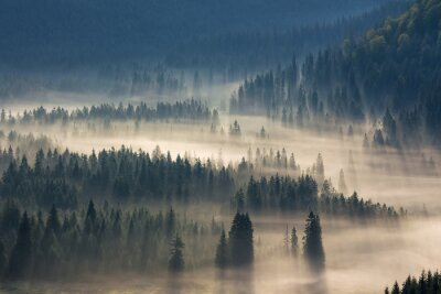 Sticker fir trees on a meadow down the will  to coniferous forest in foggy mountains