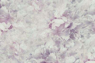 Sticker Floral  vintage beautiful background. Wallpapers of flowers light pink-white peony. Flower composition. Close-up. Nature.