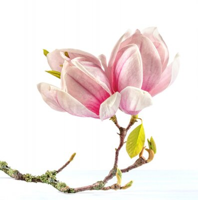 Sticker Flowering branch of Magnolia.