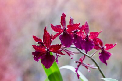 Sticker Flowering branch of orchids with maroon flowers