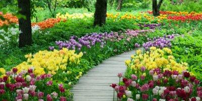 Sticker Flowering tulips in the garden