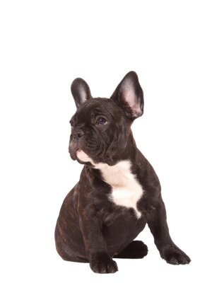 Sticker French Bulldog puppy (3 months old) - Stock Image