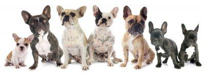 Sticker french bulldogs