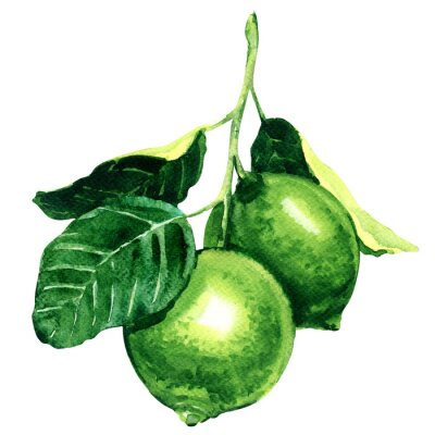 Sticker Fresh limes on branch isolated, watercolor illustration