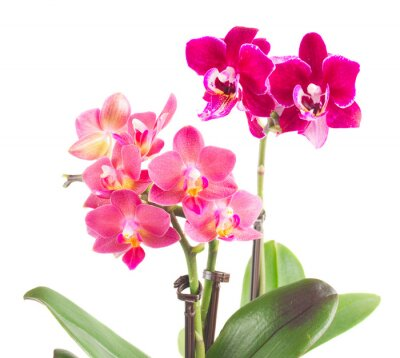 Sticker Fresh pink orchid in pot
