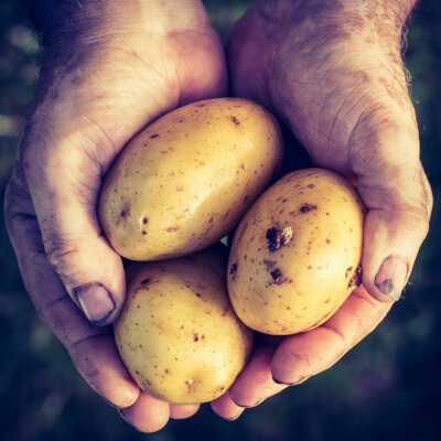 Sticker Fresh potatoes in hands