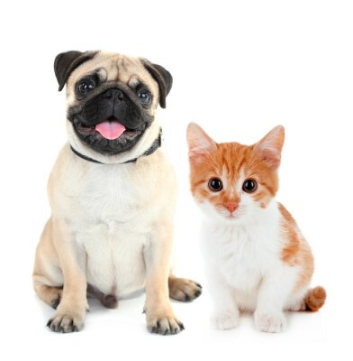 Sticker Funny pug dog and little red kitten isolated on white