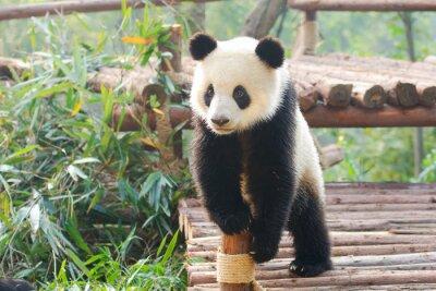 Sticker Giant Panda curiously standing, Chengdu, Szechuan, china