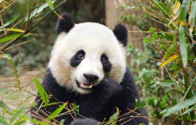 Sticker Giant Panda Eating Bamboo, Chengdu, China
