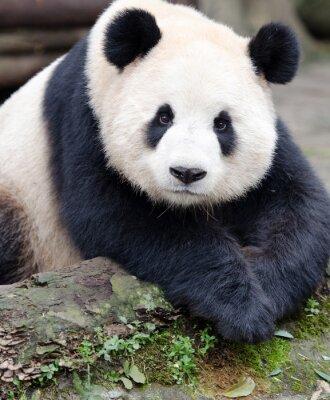 Sticker Giant Panda posing for the camera, Chengdu, Szechuan, China
