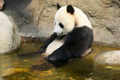 Sticker Giant panda sitting in water