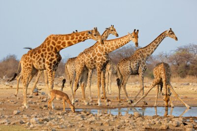 Sticker Giraffe herd (Giraffa camelopardalis) at a waterhole, Etosha National Park, Namibia.