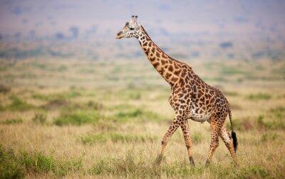 Sticker Giraffe walking in Kenya