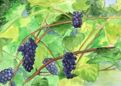 Sticker Grapes, vine. Watercolor painting