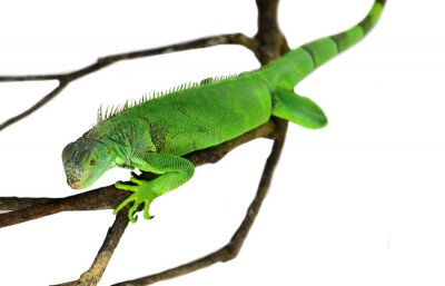 Sticker Green Iguana isolated on white with clipping path