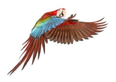 Sticker Green-winged Macaw, Ara chloropterus, 1 year old, flying