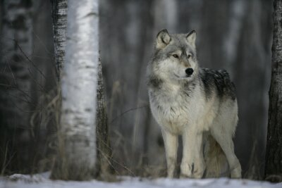 Sticker Grey wolf, Canis lupus