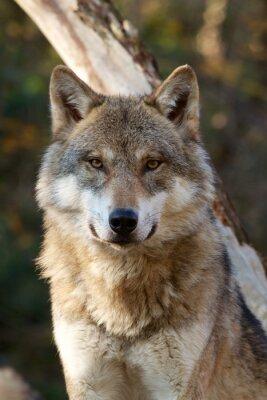 Sticker Grey Wolf - Canis Lupus