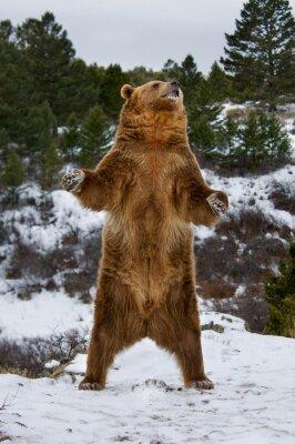 Sticker Grizzly Bear