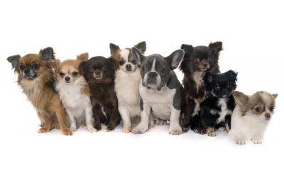 Sticker group of chihuahua