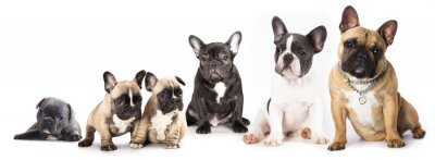 Sticker Group of French Bulldogs all ages  in front of white background