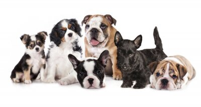 Sticker Group of  puppies sitting in front of a white background