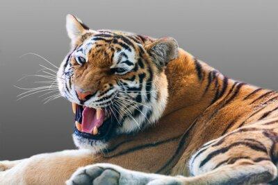 Sticker growling tiger