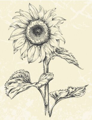 Sticker Hand drawn sunflower with leaves ans stem isolated on textured background