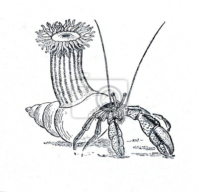 Hermit Crab Pagurus Bernhardus And Anemone Adamsia Laptop Stickers