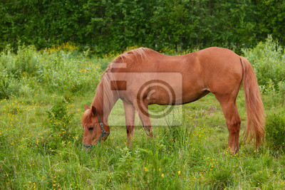 Sticker Horse eating at pasture meadow