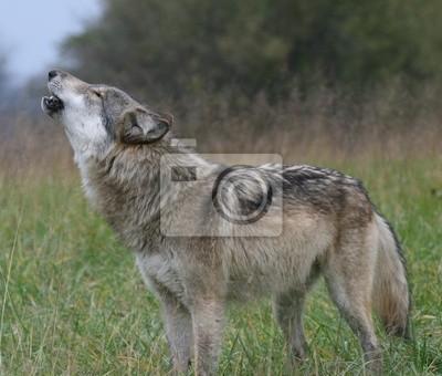 Sticker Howling Wolf
