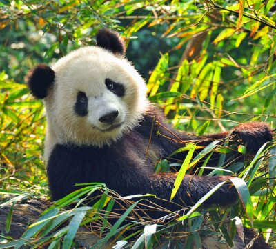 Sticker Hungry giant panda bear eating bamboo