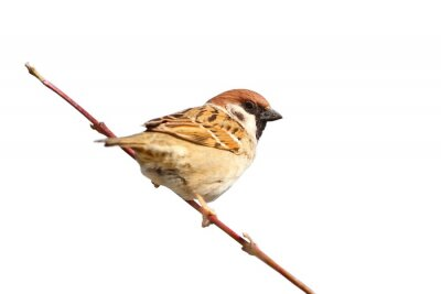Sticker isolated male sparrow on twig