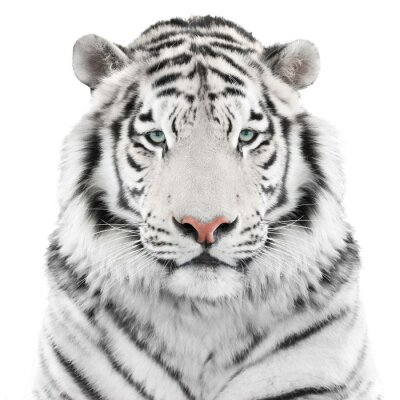 Sticker Isolated white tiger