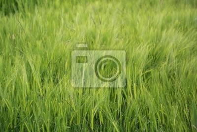 jeunes pousses de  blé de printemps